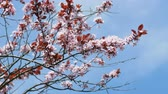 cherry blossom : Cherry plum blossom on sky background