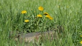 toco : Flowers of dandelions in old stump