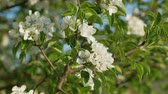 листья : Flowers of wild pear in spring