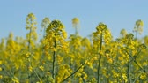 oleaginosa : Blossom rapeseed close-up
