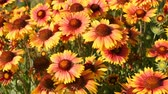 battaniye : Gaillardia flowers in garden