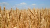 junho : Wheat ears on field close-up under blue sky