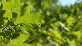 arka plân : Green oak leaves close-up Stok Video
