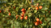 czerwony : Rose hips on bush