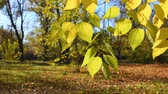 lipa : Autumn leaves of linden tree in park