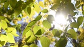 lipa : Sun shining through autumn leaves of linden tree