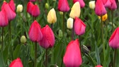 Tulips in spring rainy day Stok Video