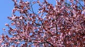 Cherry plum blossom on blue sky background