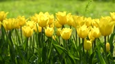 güneş ışığı : Yellow tulips in spring garden Stok Video