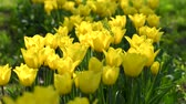 Yellow tulips in springtime garden