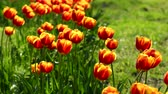 Red-yellow tulips in spring garden