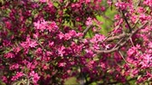 krab : Crab apple tree blossom in spring