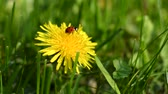Ladybug on flower of dandelion in grass
