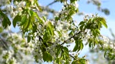 Branches of blossom cherry tree