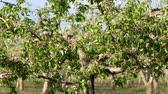 bloesem : Branches of apple tree blossom
