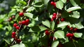 rolnictwo : Cherry tree branches with ripening cherry in wind