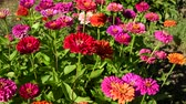 Flowers of zinnia in garden Стоковые видеозаписи