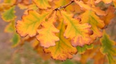 Autumn oak leaves close-up Stok Video