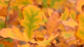 říjen : Yellow autumn oak leaves in wind