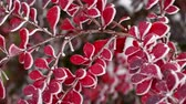 Red autumn barberry leaves with hoarfrost