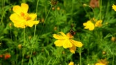 нектар : Bee collect pollen on beautiful yellow flower, outdoor bee working detail.