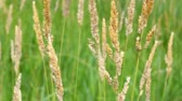 vegetação : Reed Canary Grass (Phalaris arundinacea) sways in the wind in northern Illinois Vídeos
