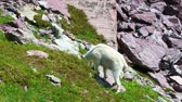 americanus : Mountain Goat (Oreamnos americanus) browses on vegetation at Glacier National Park in Montana