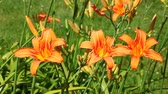 herbaceous : Orange Daylilies (Hemerocallis fulva) in an Illinois garden Stock Footage