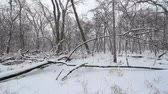 país das maravilhas : Snow falls in a deciduous forest of northern Illinois