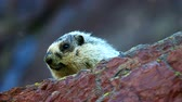 Hoary Marmot (Marmota caligata) in Glacier National Park Stock Footage