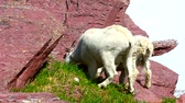 Mountain Goats browse on vegetation at Glacier National Park in Montana Stock Footage