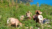 Bighorn sheep (Ovis canadensis) feeding near Grinnell Glacier of Glacier National Park Stock Footage