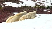 Mountain Goats (Oreamnos americanus) sit on snow near the Sperry Glacier of Glacier National Park in Montana