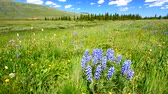 Wildflowers on a breezy day in the Bighorn National Forest of Wyoming
