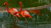 animal : Flamingo walk in lake - moscow zoo park