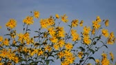heliopsis : yellow flower heliopsis helianthoides on blue sky background