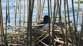 bird coot in nest fulica atra