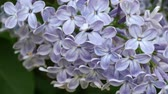 purpur : lilac flower