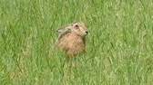 europaeus : hare on the meadow Stock Footage