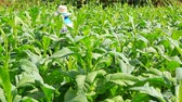 tabaco : Thai woman put Insecticide and fertilizer in tobacco plant Vídeos