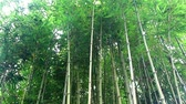 bambu : Bamboo trunks in the forest
