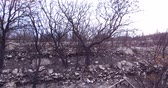 futótűz : As a result of a forest wildfire an olive grove burned down. Consequences of forest fires for nature, the ashes of burnt trees.