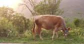 úbere : Cow in the spring before sunset. There is a young green grass in the meadow. Mountains covered in forest Vídeos