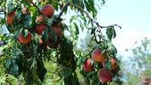 Ripe peaches on branches