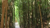 bozót : Walk through the bamboo grove in the public park. The camera moves along a narrow path among dense thickets of bamboo, we can see stone steps on the path