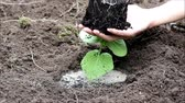 Planting pumpkin Cucurbita seedlings from the pot into the open ground