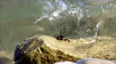 krab : Small marble crabs of Pachygrapsus marmoratus eat seaweed from the surface of the stone on the Black Sea. Russia Dostupné videozáznamy