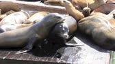 davranış : Group of California Sea Lions sun bathing on the floating docks in San Francisco Stok Video