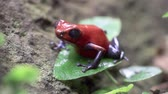 close up of a strawberry poison dart frog in the rain forest in Costa Rica Stock Footage