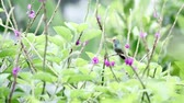 close up of a small hummingbird perched on a green stem surrounded by purple flowers Stock Footage